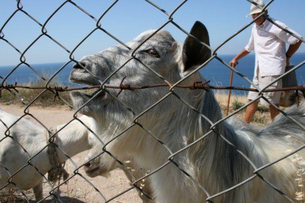 Фиолентовские козы