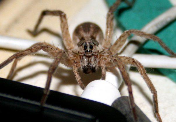 фиолентовский паук